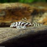 インペリアルゼブラプレコってどんな魚?インペリアルゼブラプレコの特徴と飼い方を紹介