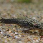 オトシンネグロってどんな魚?オトシンネグロの特徴と飼育方法を紹介