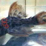 熱帯魚がよくなる病気とは?熱帯魚がよくなってしまう4つの病気を紹介