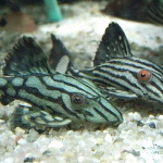 小型水槽で飼育できるオススメの熱帯魚を紹介!!